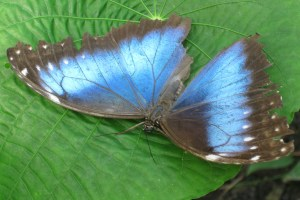 18 - Jan 11 Blue morpho