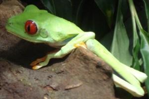 30 - Jan 11 tree frog