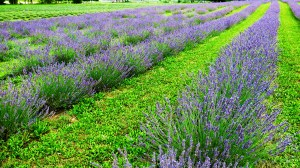 At the Terre Bleu Lavender Farm