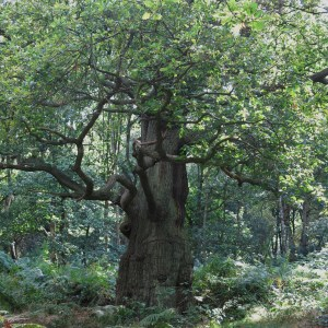 One of the mighty oaks of Sherwood