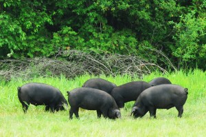 The Copper's Berkshire hogs
