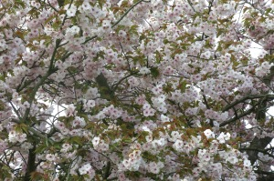Blossoms outside the Cavendish Hotel, Baslow
