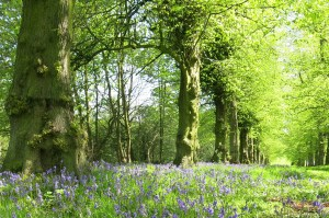 Bluebells carpet lime tree avenue at Clumber Park