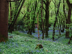 Bluebells carpet a Sussex wood
