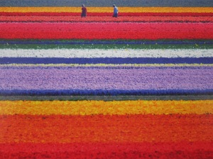Fields of tulips grown for their bulbs