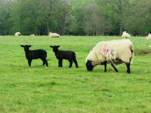 Week old Susssex lambs