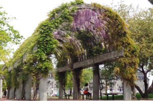 A spectacular archway of wisteria in Boston, Mass.
