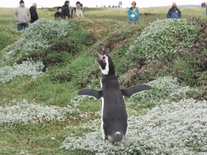 A Magellanic penguin at the Otway Pecket Reserve in Punta Arenas