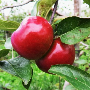 Apples ripe for picking at the Spirit Tree Cidery