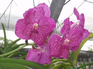 Purple orchid at the Ecuagenera nursery