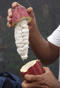 Cacao pod cut open to reveal the beans used to make chocolate