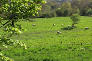 Sheep graze on the battlefield