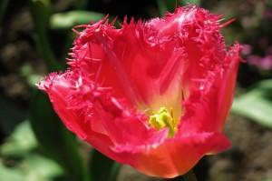 Auxerre tulip