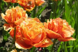 Sensual Touch tulip