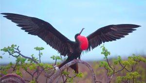 Frigatebird-2